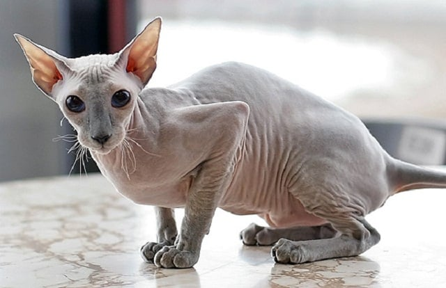 Peterbald breed info