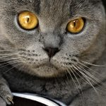 chartreux cat info