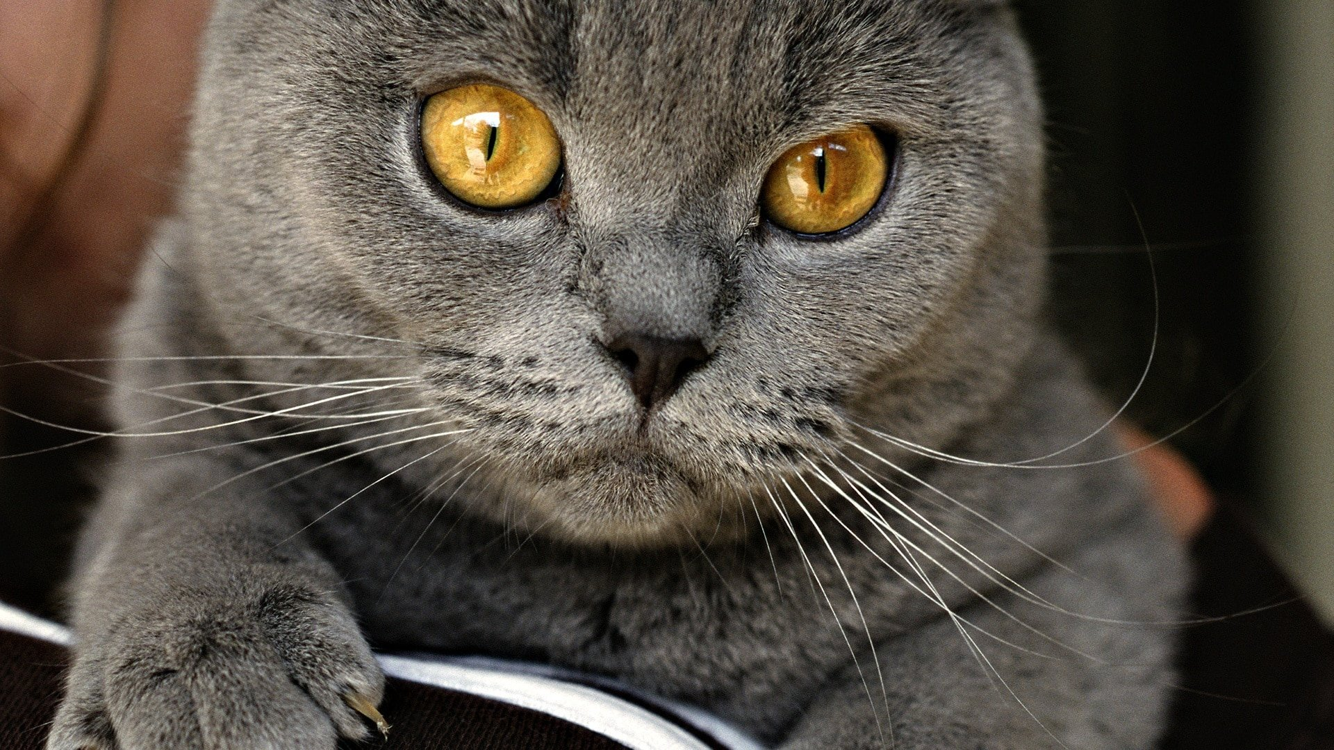 Chartreux Cat Purrfect Cat Breeds