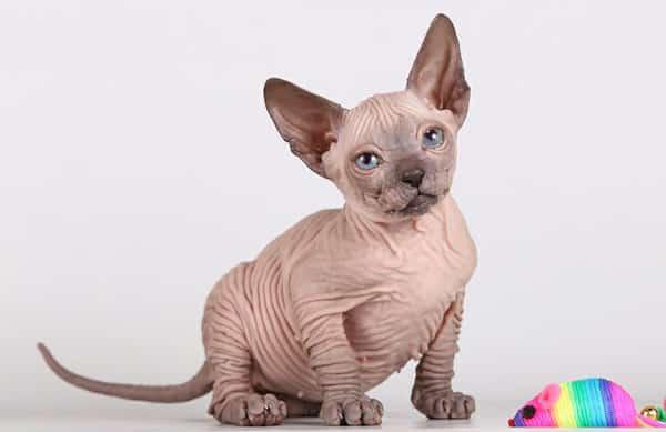 donskoy cat info