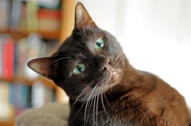 havana brown cat info