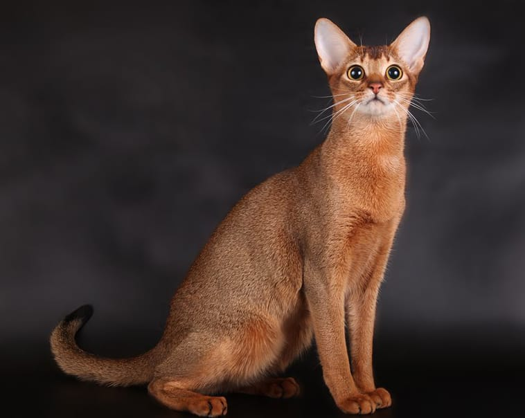 Abyssinian Cat Looks Personality And How To Care For