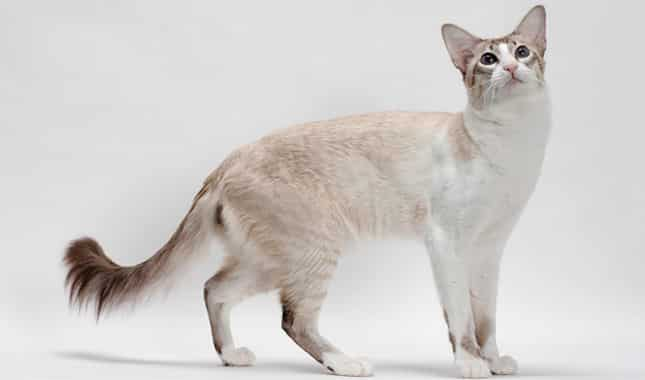 Balinese cat breed info