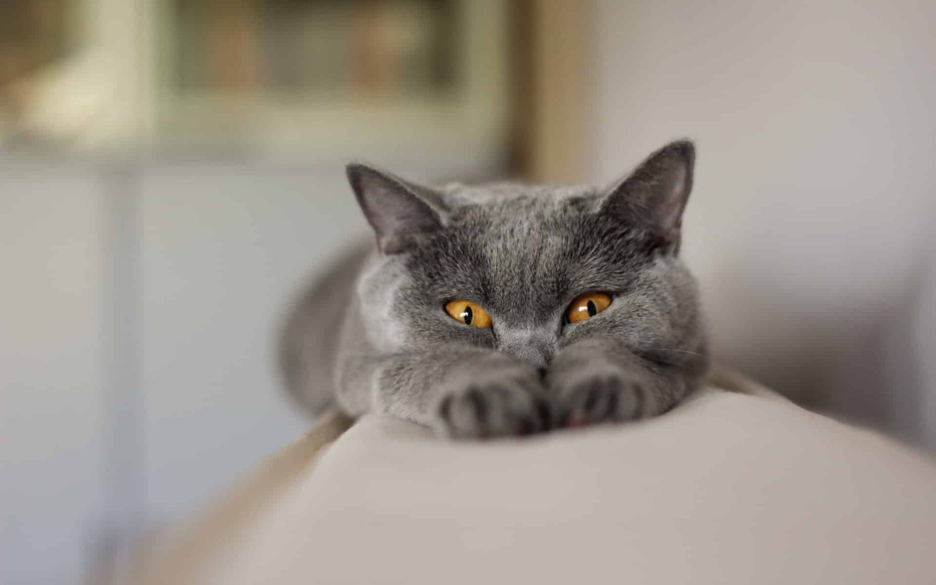 Cat Breeds That Start With A