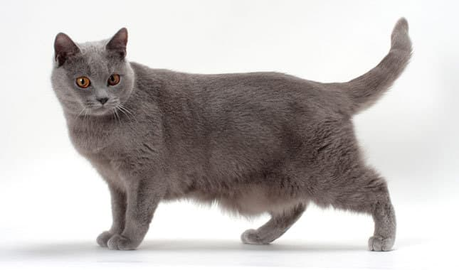 Cat Breed Chart