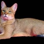 Chausie cat breed