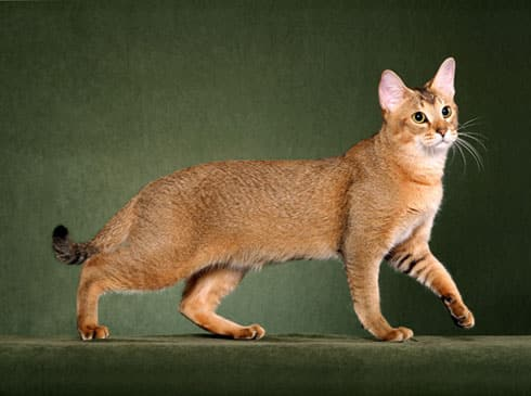 Chausie cat breed info