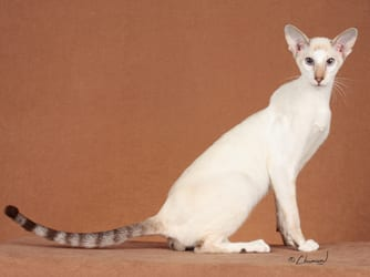 Colorpoint Shorthair cat breed info