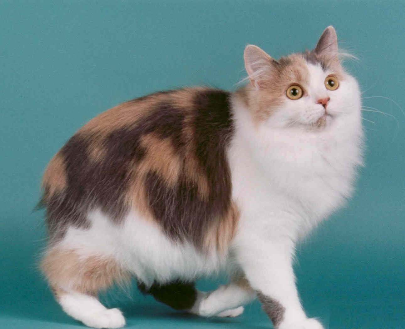 Cymric Cat breed info