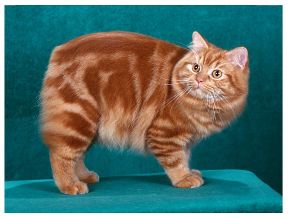 Cymric Cat Aka Longhaired Manx Purrfect Cat Breeds