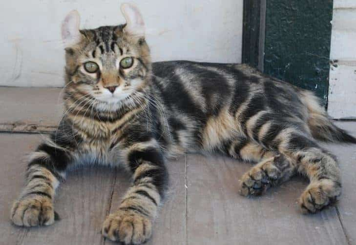 List Of Mixed Cat Breeds