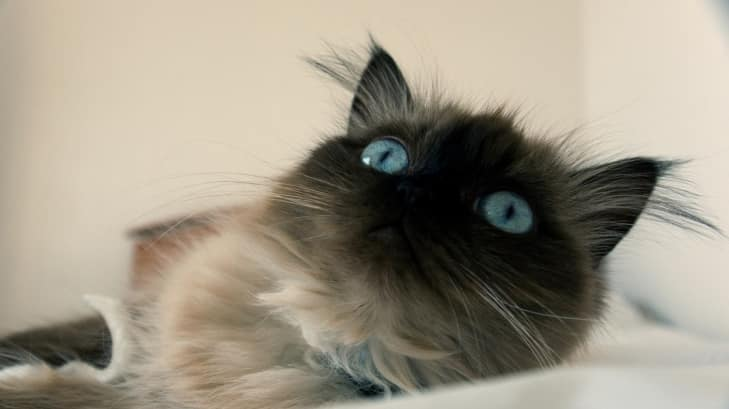 Himalayan cat breed info