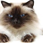 Himalayan cat breed