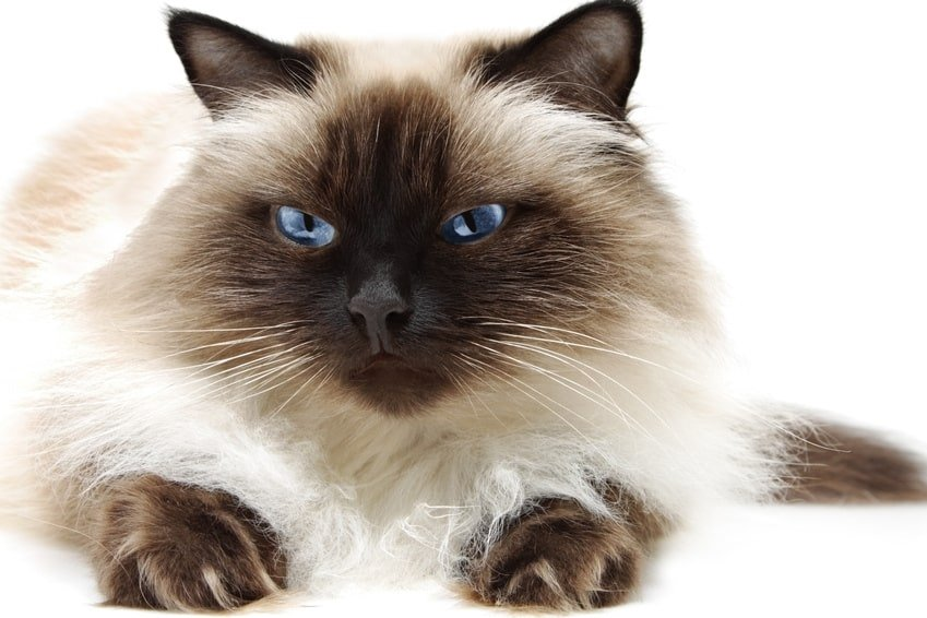 Best Cat Breed For My Personality