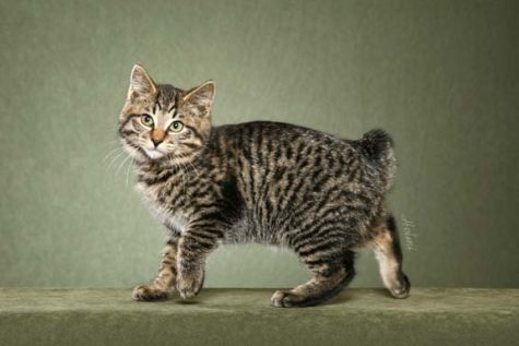 kurilian bobtail cat breed