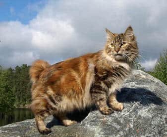 Kurilian Bobtail – Purrfect Cat Breeds