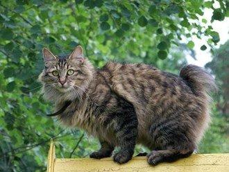Kurilian Bobtail cat info