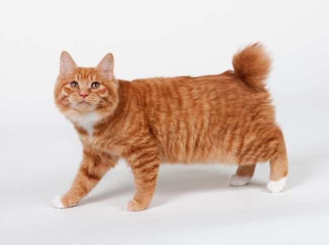 Kurilian Bobtail cat breeds