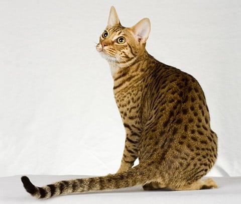 Ocicat personality