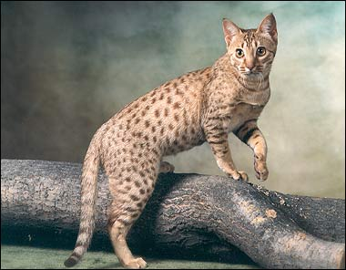 Ocicat breed info