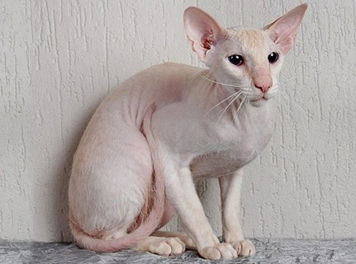 peterbald personality
