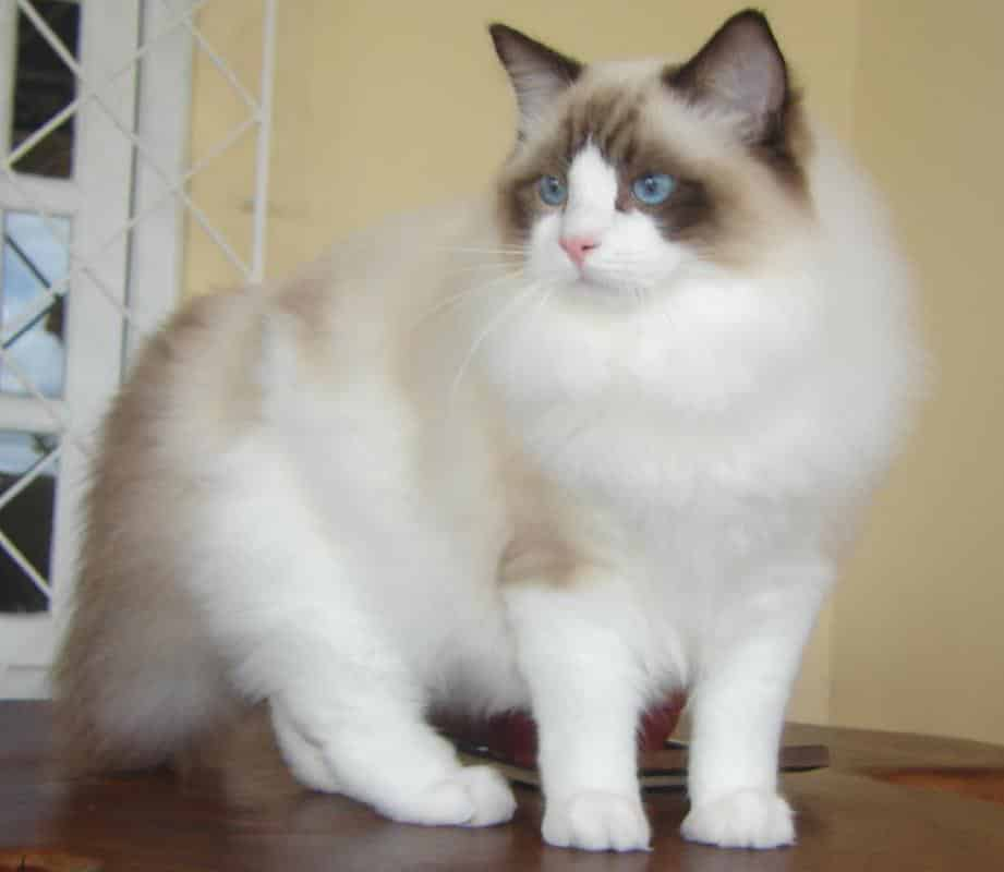 ragdoll breed info
