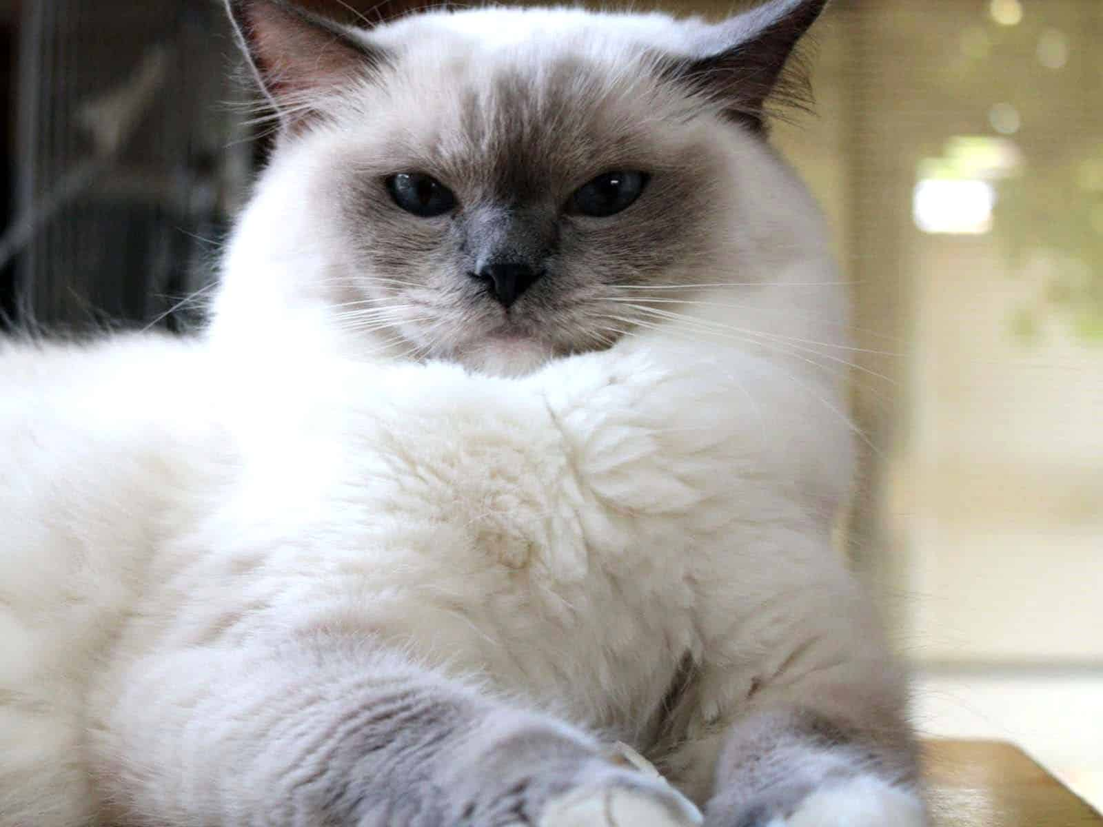 What Does A Blue Tortie Birman Cat Look Like