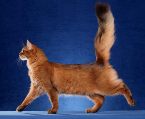 Somali Cat Looks Personality And How To Care For Your