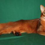 somali cat personality