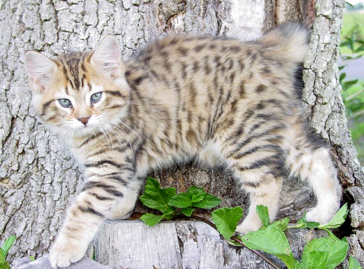 Manx Cat Breed Personality