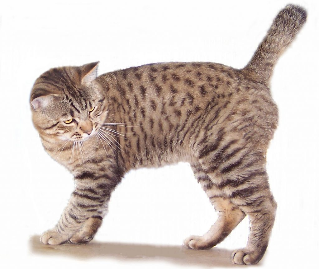American Bobtail – Purrfect Cat Breeds