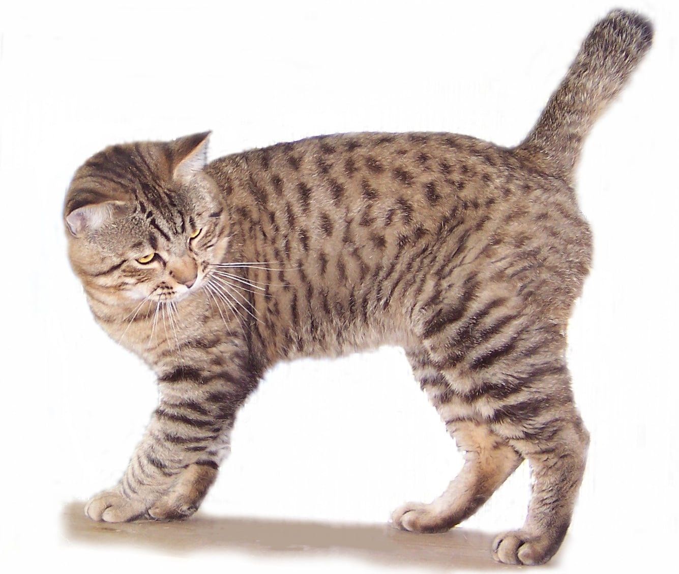 30  Beautiful Bobtail Cat Breeds