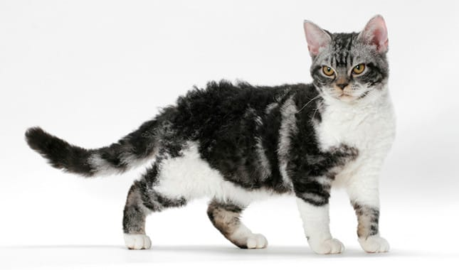 american wirehair personality