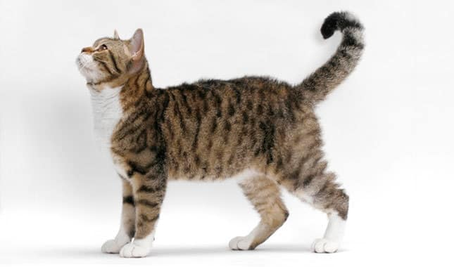 american wirehair info