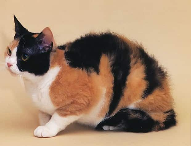 american wirehair breed info