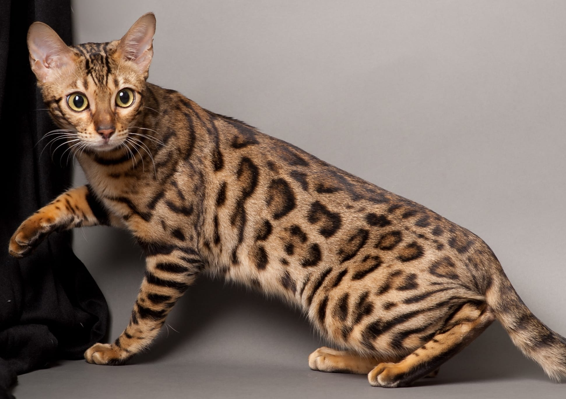 Bengal Cat – Purrfect Cat Breeds