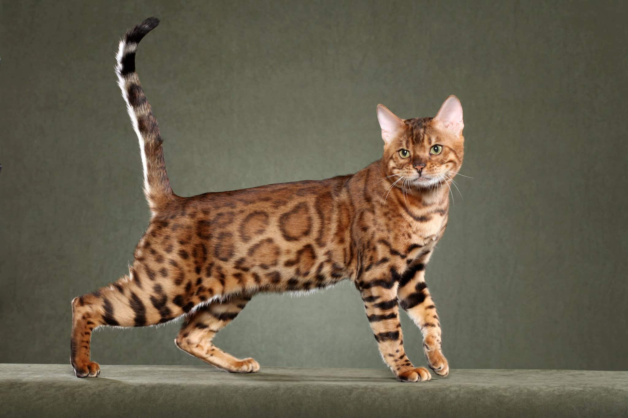 A Bengal Cats Personality with prints similar to a