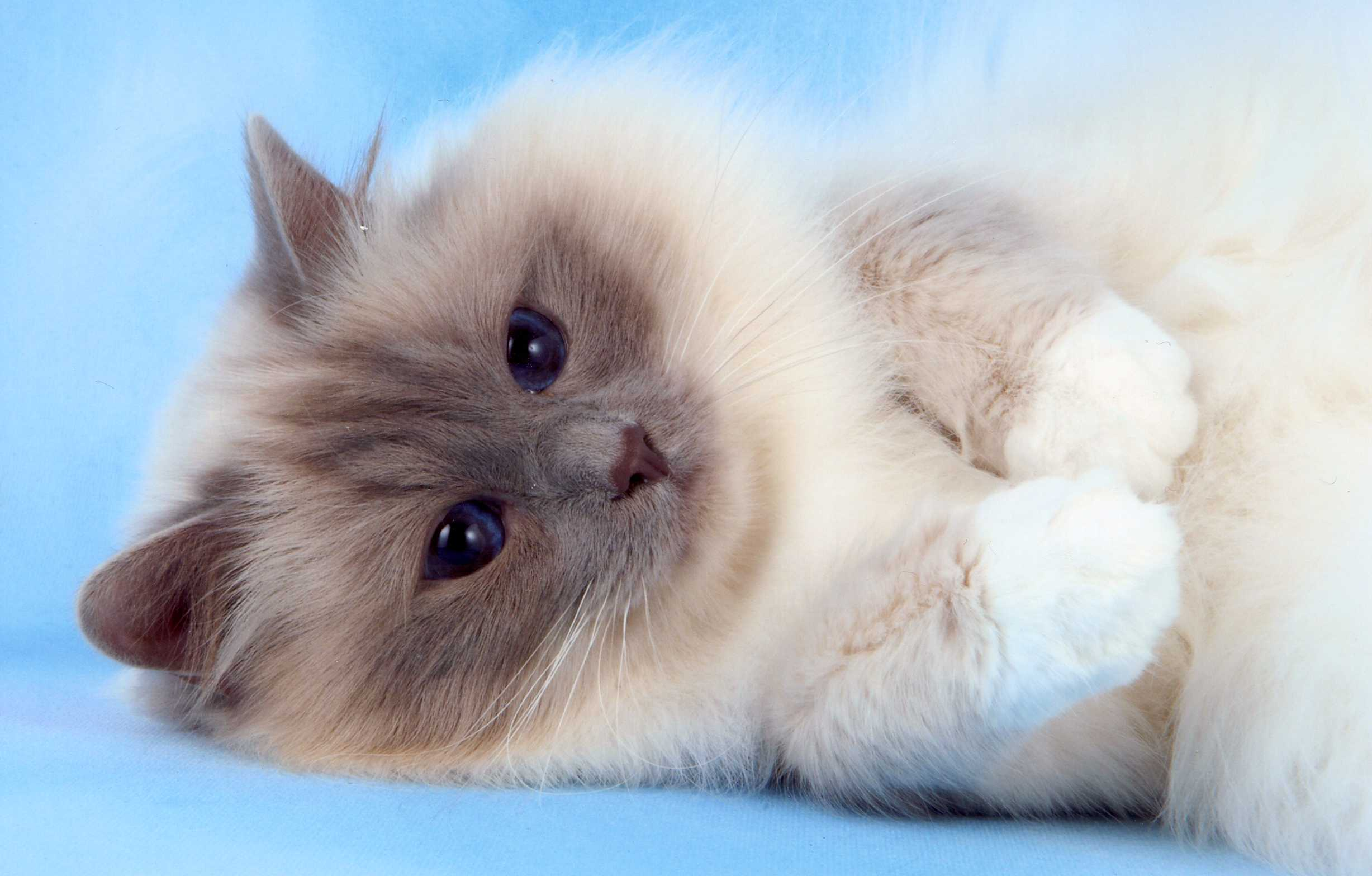 Birman Cat – Purrfect Cat Breeds