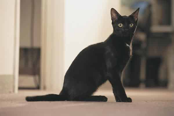 bombay cat photos