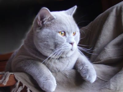 Grey british shorthair cat