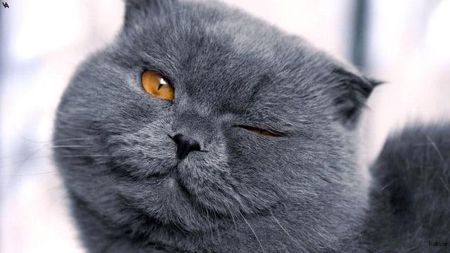 british-shorthair cat breeds