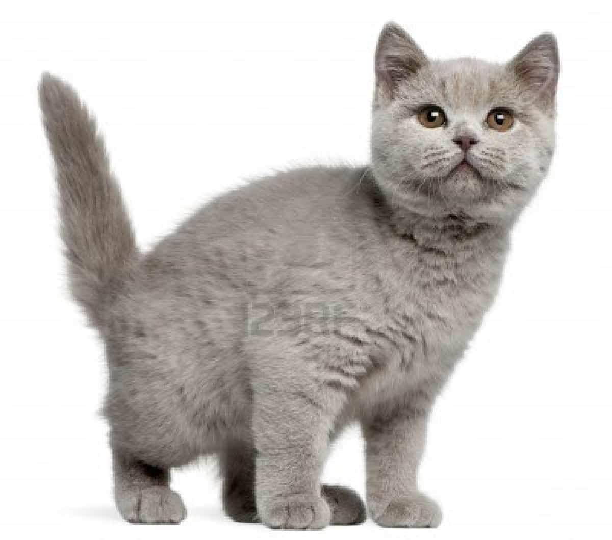 British Shorthair Looks Personality And How To Care For