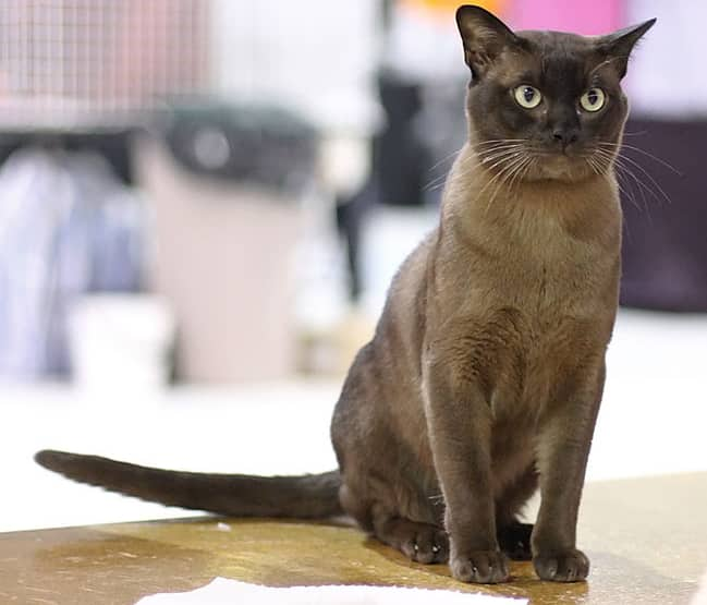 Burmese Cat Looks Personality And How To Care For Your