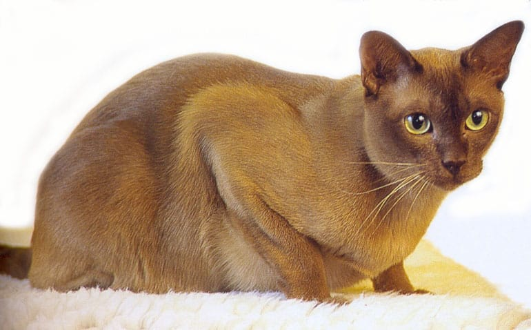 burmese cat info