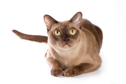 burmese-cat5