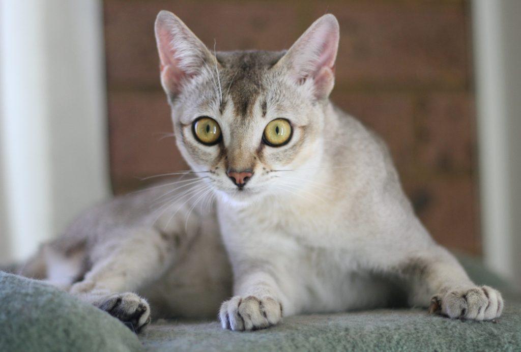burmilla cat breed info
