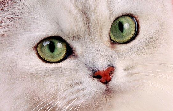 burmilla cat info