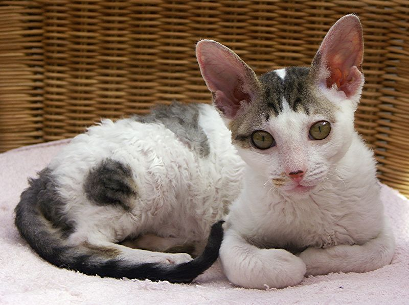 cornish rex info