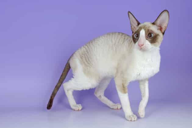 cornish rex cats info