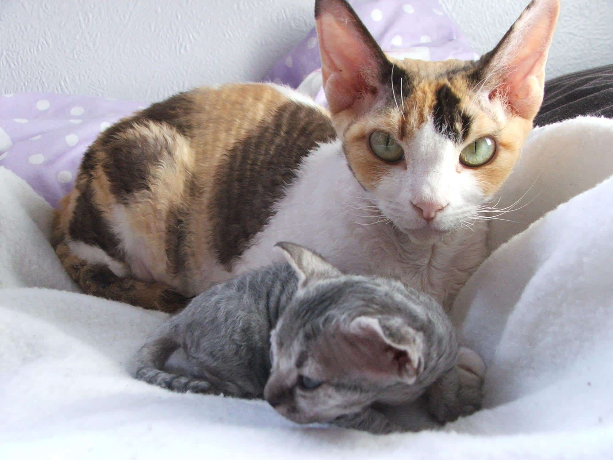Devon Rex Purrfect Cat Breeds